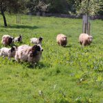 Rickford Orchard Sheep