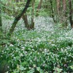 Wild Garlic Compton Wood