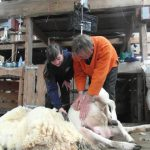 Sheep Shearing with Andrew Wear