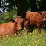 Cow and Calf in Meadow Copyright Kate Lawrence Somerset Wildlife Trust