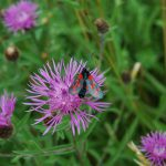 Six Spot Burnet - A Day Flying Moth