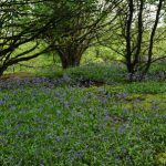 Black down Bluebell Wood 5